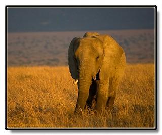 African Elephant - Loxodonta africana - Afrikansk Elefant