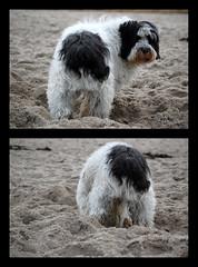 Dog On The Beach (photoArt) Tags: dog chien pet white black beach strand germany sand nikon baltic hund tobi ostsee pon 55200mm d40 supershot