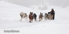 K-9challenge2b (dancingwolf22) Tags: winter snowshoe utah subaru logan dancingwolf logancanyon dogsled cachevalley watermarking dancingwolfphotocom
