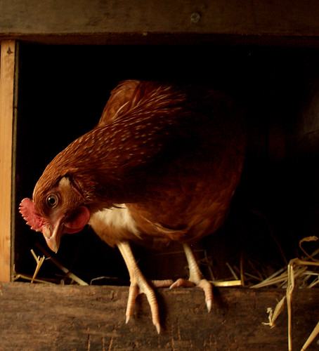 hen house life