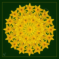 Ring of Spring (F-2) Tags: flowers light fab flower yellow wales digital canon garden studio early spring raw flash tripod january grow william tent adobe dslr soe lighttent daffodils 580ex strobe wordsworth excellence cs3 williamwordsworth amaryllidaceae 333views dafs canoneos5d eos5d narcissuspseudonarcissus fantasticflower fineartphotos 25faves mywinners mywinner anawesomeshot aplusphoto photoshopcs3 superbmasterpiece cenhinenbedr platinumheartaward spiritofphotography adobecameraraw431