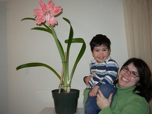 amaryllis 2008