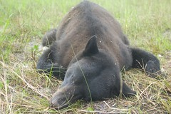 300 lb black bear (timalbertson) Tags: bear florida fl blackbear fakahatcheestrand colliercounty