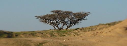 Israel desert tree