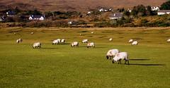 Nothing to do (Peatón ocasional) Tags: ireland verde green sheep paisaje calma irlanda irlande paseos tranquilidad ovejas rebaño comayo garci mulranny atlanticdrive peatónocasional