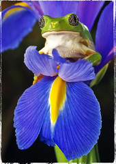 Iris  (Alfredo11) Tags: blue iris flower nature animal yellow azul flor frog amarillo rana babyface caradenio