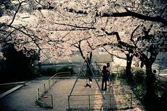 ordinary life (moaan) Tags: life leica light sunlight digital square spring m8 april  sakura cherryblossoms 2008 cherrytree 21mm superangulon inlife f34 leicam8 leicasuperangulon21mmf34 gettyimagesjapanq1 gettyimagesjapanq2