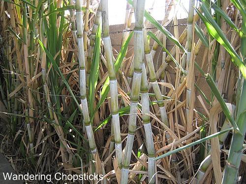 Sugarcane 1