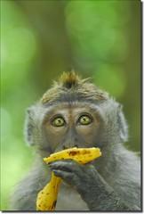 yum! ('PixelPlacebo') Tags: light bali green indonesia monkey eyes funny dof bokeh banana available ubud specanimal twtmeiconoftheday