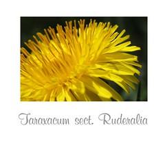 Taraxacum sect. Ruderalia (lekym) Tags: lwenzahn