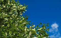 Prunus padus (axelkr) Tags: flowers trees wallpaper sky iceland spring widescreen foliage prunus rosaceae birdcherry 1280x800 heggur