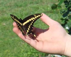 Enseame a volar (Lentedigital) Tags: paddy campo mariposa buterfly bragado patricio colorida volar malabrigo limonera