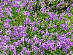 English lavender (melastmohican) Tags: natureangustifolia natural landscape aroma flower scent outdoor lavandula background nature garden exterior plant medicinal herbal cultivation organic herb summer violet flora blooming bloom lavender fragrance field edinburgh scotland unitedkingdom gb