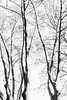 Mono trunks (lorenzoviolone) Tags: bw blackwhite blackandwhite finepix fujix100s fujifilm fujifilmx100s monochrome polaroid665 vsco vscofilm x100s clearsky leaf leaves mirrorless sky sticks streetphoto streetphotobw streetphotography tree treetrunk trunk walk:rome=jan42017 winter wintertrees roma lazio italy