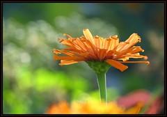 IMG_2484 Enchanting 10-6-16 (arkansas traveler) Tags: flowers zinnia zoom telephoto nature naturewatcher natureartphotography bokeh bokehlicious abstract abstraction