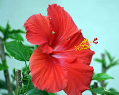 Lipstick Red (AngelaC2009***) Tags: 2017 february winter florida riverview flower hibiscus macro canoneosdigitalrebelxt