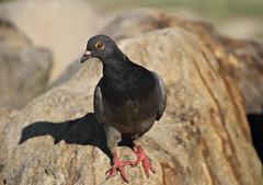 2017 Sydney: Botany Bay #5 (dominotic) Tags: sydney nsw australia newsouthwales 2017 botanybay beach brightonlesands pigeon bird shadow sydneyairport ladyrobinsonsbeach
