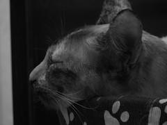 Cat sleeping ^.^ (Vanessa Santos (Away)) Tags: cats gatos sonydsch10