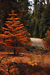changing tree (vl8189) Tags: california road park autumn trees wild orange color fall leaves turn forest season concrete leaf nikon october year nowhere hills national yosemite evergreens end granite change through wilderness dying shrubs d40