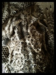 131/365 Camouflage (mogwailun) Tags: skin ripley lizard scales 365 beardeddragon pictureshow iphoneography