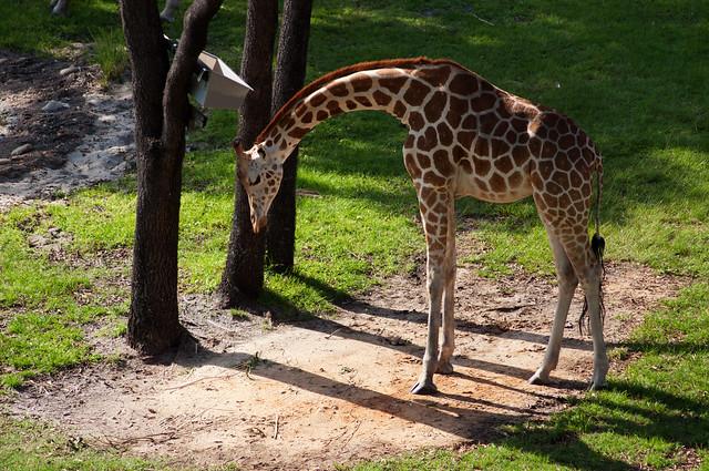 animals giraffe4