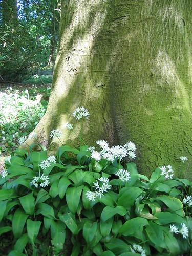 Wild garlic at base of tree