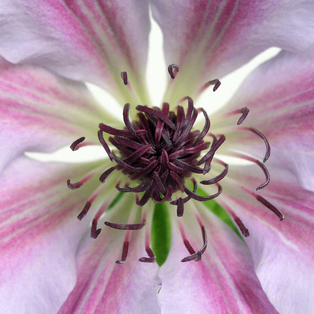 clematis center (looks like an insect)