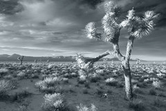 Joshua (Side Light) BW (sandy.redding) Tags: california blackandwhite landscape desert optikverve abigfave impressedbeauty tokinaatx124prodx