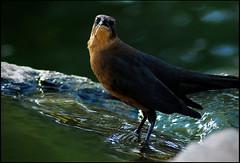 grackle - female (Arizona♥BabyDoll) Tags: nature birds animals heidi nikon wildlife grackles arizonababydoll