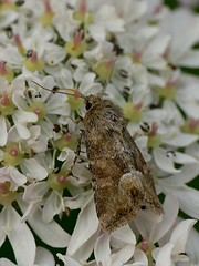 Middle Barred Minor - Oligia fasciuncula (Walwyn) Tags: insect moth lepidoptera noctuidae warwickshire walwyn draycotemeadows oligiafasciuncula profmoriartydotcom:book=62 profmoriartydotcom:book=61 profmoriartydotcom:book=35 profmoriartydotcom:book=54