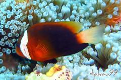 Dusky Anemonefish, Saipan