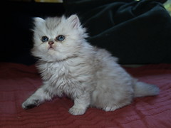 (catherine.caf) Tags: cat persian kitten chat chaton persan abigfave