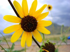 i'm sure... (Esther17) Tags: yellow sunflower hereford yella palominas
