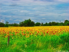 Girasoles (antes de la tormenta) / Sunflowers (before the storm)