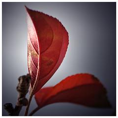 IMG_5578rw (hz536n/George Thomas) Tags: autumn trees red fall oklahoma bokeh acr 2007 canon30d canonef70200mmf4lusm canonef300mmf4lisusm pse5 macrophotosnolimits macromix