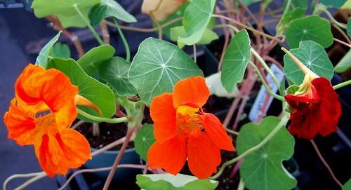 Herb Flowers Nasturtium