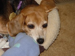 040305 003 (rpealit) Tags: dog pet color beagle animal friend molly tri companion