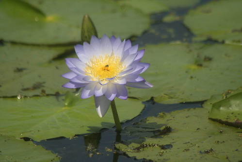 Water Lilly Fogg Dam
