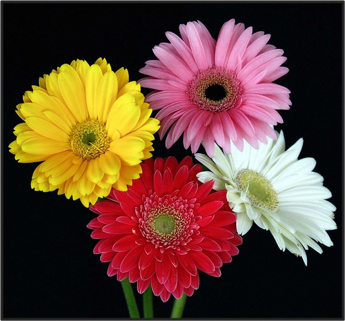 When all else fails, give the one you love gerbera daisies... by pieceoflace.