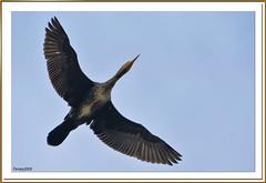 barcelona nature birds aves migrations greatcormorant phalacrocoraxcarbo ocelles migraciones remolar deltallobregat cormorángrande cormarígros