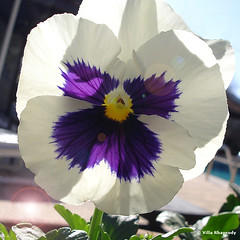 Pensee or pansy (VillaRhapsody) Tags: flowers blue white turkey spring bloemen pensee viooltje fpc kayaköy golddragon challengeyouwinner villarhapsody theunforgettablepictures excellentsflowers natureselegantshots mimamorflowers