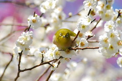 White-eye ready to fly (kaycatt*) Tags: flowers white flower macro bird birds spring kyoto bokeh wildlife naturesfinest blueribbonwinner  d80