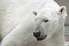 "Polar Bear <a style=""margin-left:10px; font-size:0.8em;"" href=""http://www.flickr.com/photos/8402379@N06/2336304262/"" target=""_blank"">@flickr</a>"