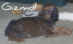 Gizmo (muslovedogs) Tags: dogs puppy mastiff rottweiler zeusoffspring myladyoffspring