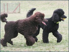 friends (darleen2902) Tags: brown black ball play picnik standardpoodle misura darleen grosspudel
