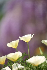 Wisteria and white poppy (kamonegi_jp) Tags: plants flower japan eos spring poppy 5d smörgåsbord sigma150mmmacro ashikagaflowerpark saveearth
