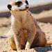 Posing meerkat