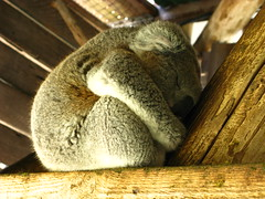 Koala (Filor) Tags: park canon oz under australia down powershot explore perth western wa aussie occidentale afs cohunu g9 intercultura explored esplora filor waati