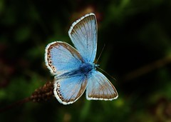 so blue (Hugo von Schreck) Tags: hugovonschreck butterfly schmetterling falter macro makro insect insekt canoneos5dsr tamron28300mmf3563divcpzda010 onlythebestofnature yourbestoftoday