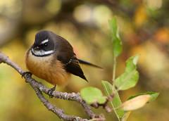 Autumn Fantail (Hooplabean) Tags: new bird 50mm focus central zealand nz otago mf manual nikkor fantail